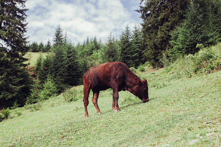 tourism, mountains, lifestyle, nature, animals concept - Mountain pasture with cows. The blood in the mountains. Summer landscape in the mountains with a cow. Warm summer evening.