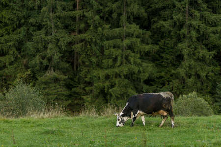 Grazing cows. black and white cow grazing on meadow in mountains. Cattle on a pasture