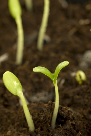 Two beautiful seedlings or sprouts looking healthy and growing strong  These are cantaloupe seedlings  Фото со стока
