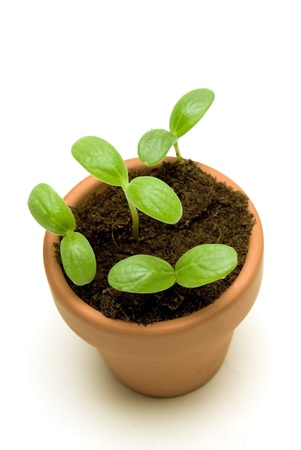 sprouting: Beautiful new cantaloupe seedlings growing in a small pot   Isolated on white with shadow around base of pot   Overhead shot
