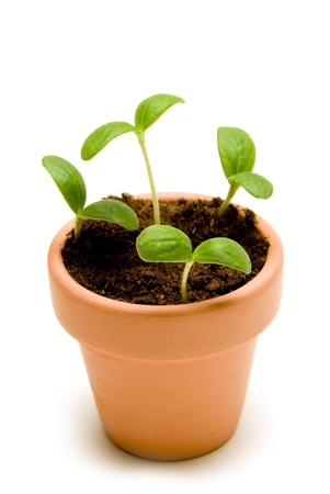 Beautiful new cantaloupe seedlings growing in a small pot   Isolated on white with shadow around base of pot