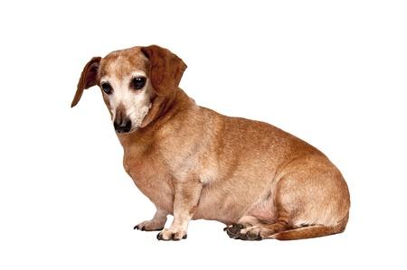 Mignon canin peu plus âgé ou senior en position assise isolé sur blanc Studio shot Banque d'images - 17223586