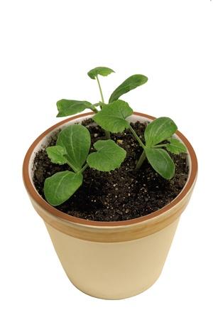 xxxl: New Growth In Small Pot XXXL