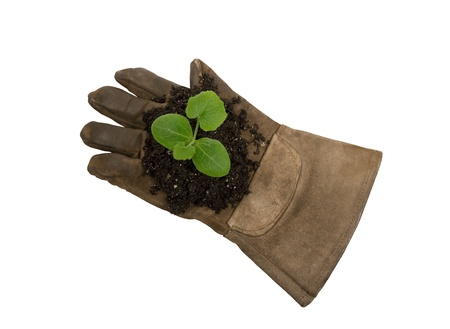 xxxl: Young Plant On Work Glove XXXL Isolated On White Stock Photo