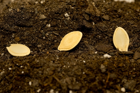 god s hand: Seeds Laying In Soil XXXL  Stock Photo