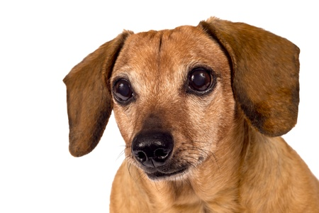 Dog Looking Forward Close Up Isolated
