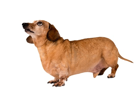Dog Full Length Looking Up Isolated On White Stock Photo