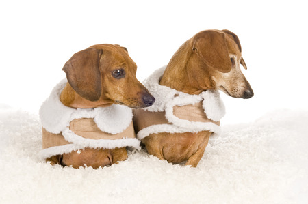Two Dachshund Dogs Looking Over At Something