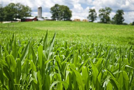 Field Of Jeune maïs Banque d'images - 35529897