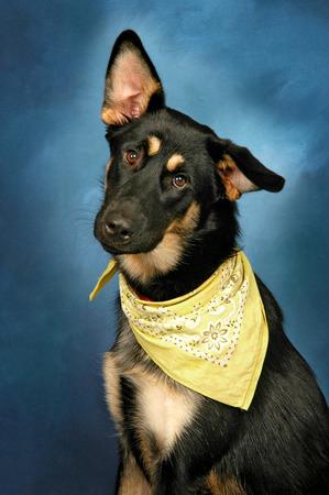 tilted view: Cute Dog Tilting His Head Wearing Bandana Stock Photo