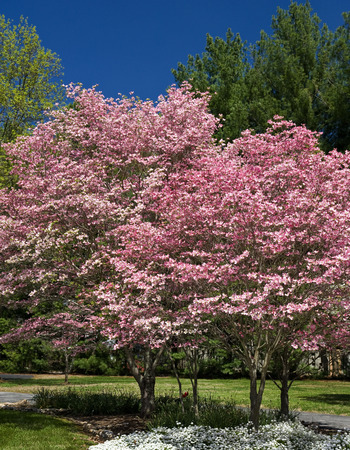 Springtime Pink And White Dogwood Trees photo