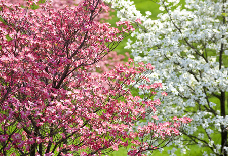 Beautiful Springtime And  Easter Dogwood Blossomed Trees