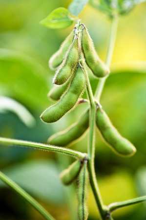 green bean: Soybean Plant Close Up In Soybean Field Stock Photo