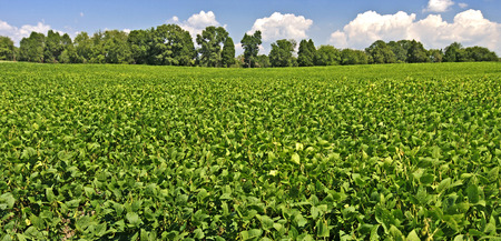 soybean: Mature Soybeans Ready For Harvest Stock Photo