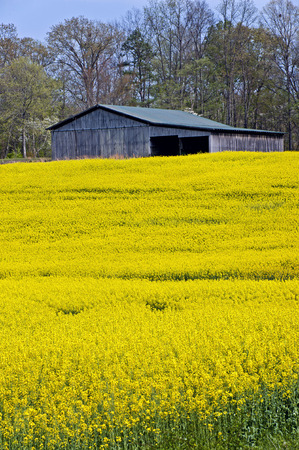 sky and grass: Barn And Yellow Wildflowers