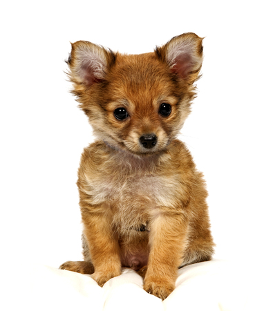 pampered pets: Cute And Adorable Tiny Pomeranian Puppy Looking Forward