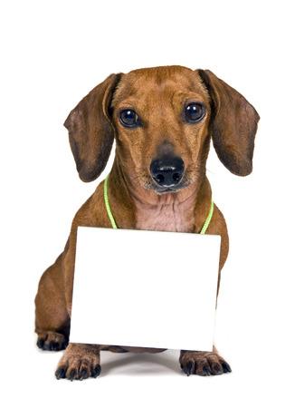whitebackground: Dachshund Dog Holding Blank Sign Around His Neck Stock Photo
