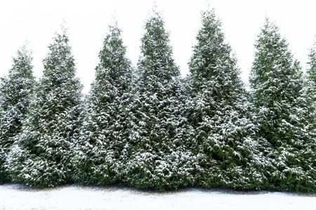 evergreen trees: Snow Covered Evergreen Trees