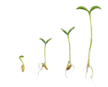 La germinación de secuencia de evolución de las plantas aislado concepto