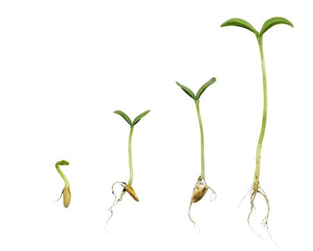 germinación: La germinación de secuencia de evolución de las plantas aislado concepto Foto de archivo