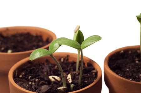 ollas de barro: Las plantas jóvenes que crecen en plantas crisoles de arcilla en el frente foco aislado Foto de archivo