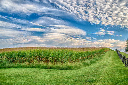Horizontal shot of a Cornfield in Late Summer Under a Blue Sky.