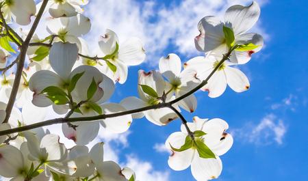 Beautiful dogwood blossoms reach toward a lovely springtime partly cloudy sky.