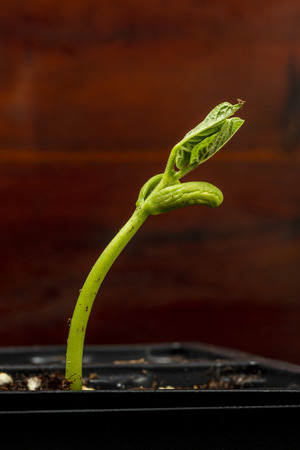Vertical shot of a new bean sprout in a plastic tray ready for planting with copy space.