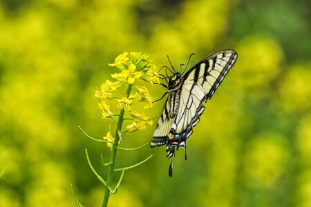 Horizontal side view of a butterfly against a yellow out of focus background with copy space. Stock Photo