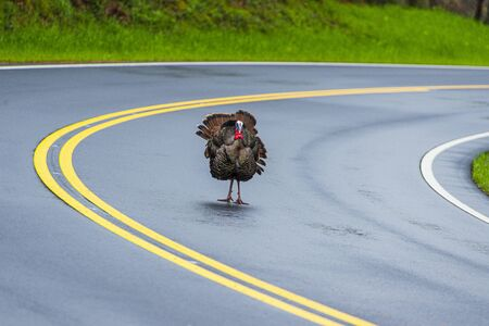Horizontal shot of a large male turkey standing facing the camera on a Tennessee road with copy space. Stock Photo