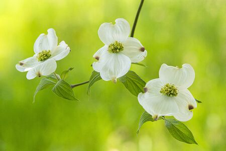 Horizontal close-up shot of three dogwood blooms with out of focus green background.  Copy space.