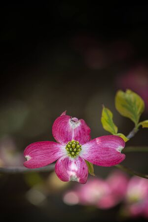Vertical shot of a vibrant pink dogwood bloom with copy space.  Dark background is out of focus. Stock Photo