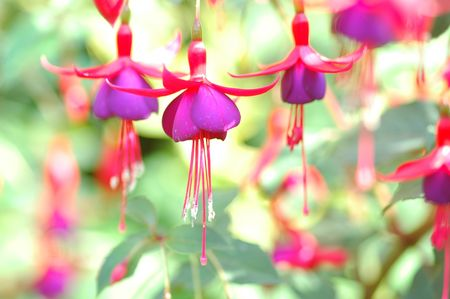 fuschia: Back To The Fuschia