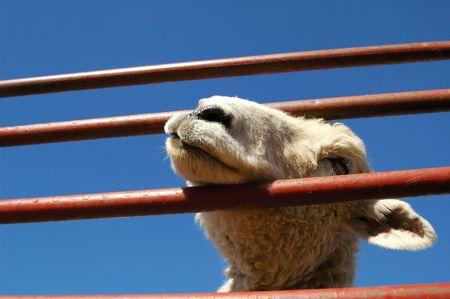 Lamb behind bars. photo
