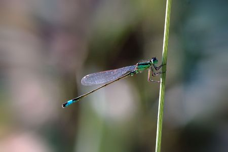 Blue-tip damselfly on grass stem. photo