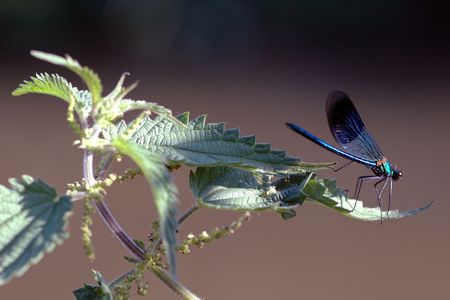 Damselfly on nettle leaf. Stock Photo - 770296