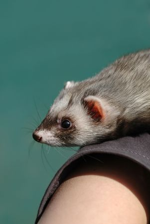 tame: domesticar animales de compa��a a personas hur�n brazo
