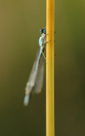 damsels: damselfly resting on grass stem