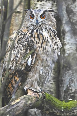poised: eagle owl poised for hunting