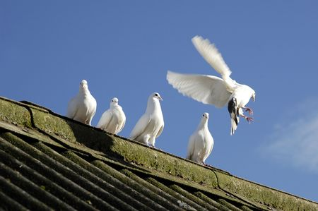 five white doves on a barn roof photo