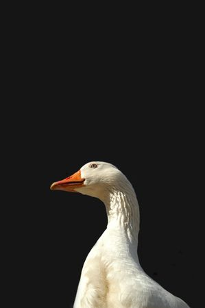 farmyards: protective goose on dark background