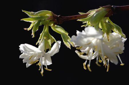 flowering winter jasmine on black background photo