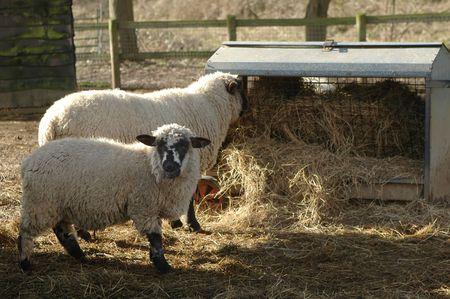 trough: sheep feeding from farmyard trough Stock Photo