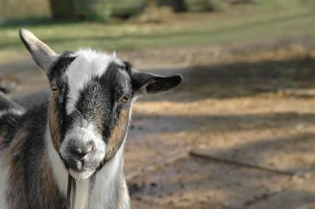 farmyards: close-up of a goat kid in a farmyard Stock Photo