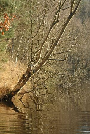 overhanging: sliver birch at the waters edge