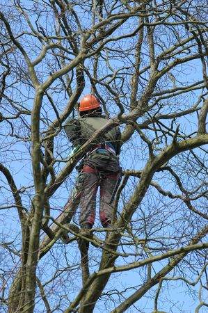 timber cutting: brave climber inspecting for tree damage Stock Photo