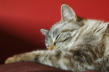 contented: contented birman tabby cat sleeping Stock Photo