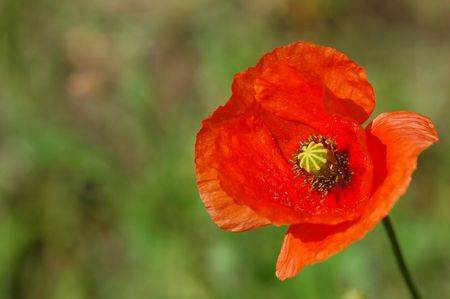hayfever: single poppy flower close-up Stock Photo