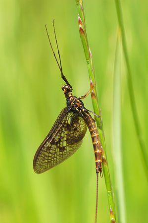 harmless: scary looking yet harmless mayfly on vegetation