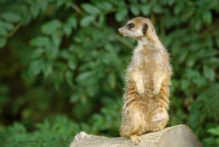 meerkat in alertness pose